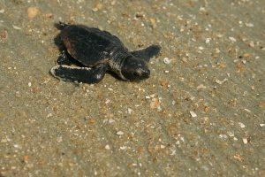 piccolo di tartaruga Caretta Caretta verso il mare a Zante