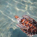 tartaruga caretta caretta - èrotagonista delle Vacanze a Zante