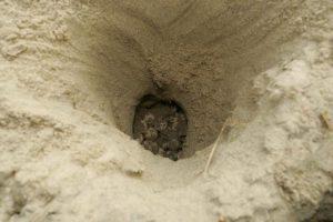 nido con uova di tartarughe Caretta Caretta a Zante